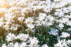 在阳光的小的狂放的白花Houstonia caerulea在日落的 春天 图库摄影