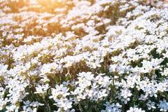 在阳光的小的狂放的白花Houstonia caerulea在日落的 春天 库存照片