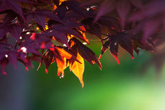在阳光的新鲜的红色和黄色叶子 图库摄影