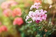 在阳光的桃红色天竺葵花 免版税库存照片