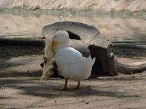 在阳光的白色鸭子 库存图片
