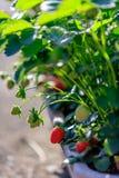 在阳光的草莓植物 免版税库存图片