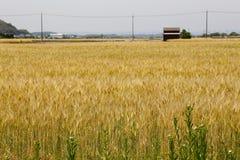 在阳光的金黄麦田 库存图片