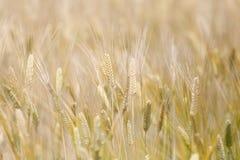 在阳光的金黄麦田 免版税库存图片