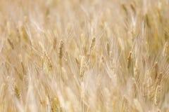 在阳光的金黄麦田 免版税库存照片