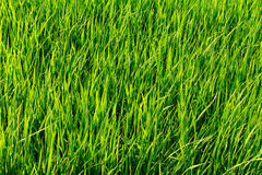 在阳光的绿色米领域背景 免版税库存照片
