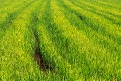 在阳光的绿色米领域背景 库存照片