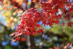 在阳光背景的秋叶 库存图片