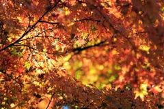 在阳光背景的秋叶 免版税库存照片
