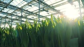 在阳光背景的绿色郁金香叶子自温室 股票录像