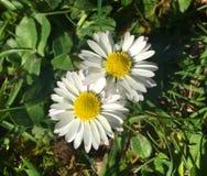 在阳光连结的瓣的两朵雏菊花 免版税库存图片