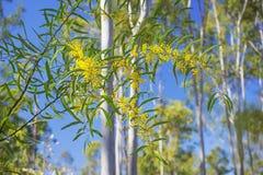 在阳光飞溅的春天澳大利亚金荆树  库存照片