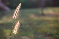 在阳光,特写镜头选择聚焦下的狐尾草 库存图片