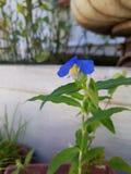 在阳台的偏僻的蓝色花,海法,以色列 库存照片