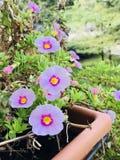在阳台的紫罗兰色花 图库摄影