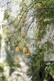 在阳台的黄色石榴 免版税库存图片