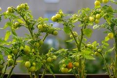 在阳台,都市种田的生长西红柿 库存照片