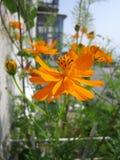 在阳台绿化的橙色波斯菊花 晴朗日的夏天 库存图片