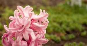 在阴天关闭和红色开花的郁金香的桃红色风信花 库存图片