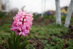 在阴天关闭和红色开花的郁金香的桃红色风信花 免版税图库摄影