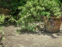 在阴影的猫,注意和醒射击它的摄影师 免版税库存图片