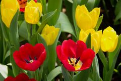 在阵营的五颜六色的郁金香 库存图片