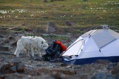 在阵营的北极狼 图库摄影