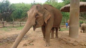在阵营的大象 库存照片