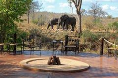 在阵营的Elefanten 图库摄影