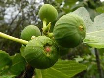在阵雨期间的未成熟的无花果 免版税库存图片
