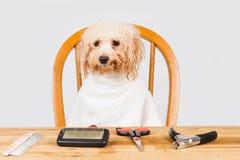 在阵雨以后供以座位的湿狮子狗的概念准备好修饰在沙龙 免版税库存图片