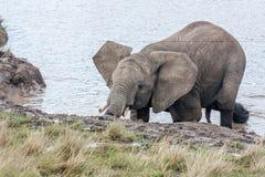 在阵雨治疗以后的大象 免版税库存照片