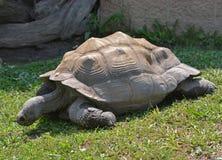 在阿克伦动物园的巨型草龟在俄亥俄 免版税图库摄影