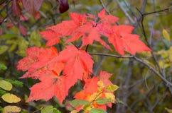 在阿地伦达山脉的秋叶 库存照片