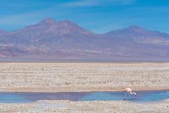 在阿塔卡马沙漠的孤独的火鸟 图库摄影