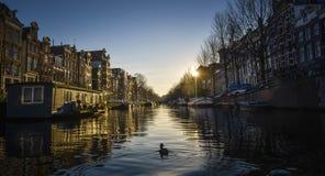 在阿姆斯特丹运河的鸭子  库存照片