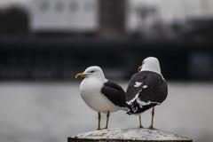 在阿姆斯特丹` s河的两只海鸥 图库摄影