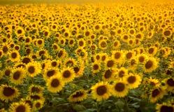 在阿尔勒附近的向日葵领域在普罗旺斯 库存图片