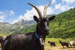 在阿尔卑斯特写镜头的山羊 库存照片