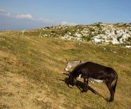 驴在阿尔卑斯的山吃草 免版税库存照片