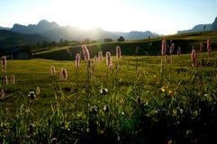 在阿尔卑斯的日出与美丽的花/alp在gardena谷的de siusi的白云岩的 免版税库存照片