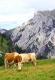 在阿尔卑斯的看法有吃草的在欧洲阿尔卑斯的karwendel山的母牛 库存照片