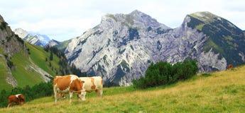 在阿尔卑斯的看法有吃草的在欧洲阿尔卑斯的karwendel山的母牛 免版税库存照片