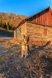 在阿尔泰山的一个村庄尾随守卫农场 免版税库存照片