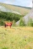 在阿尔泰山的马 免版税库存图片