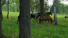在阿尔泰的草甸的家养的马 在木头的马步行在日落 二者择一地 在草的马 反对背景 股票视频