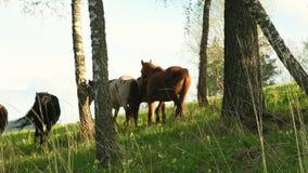 在阿尔泰的草甸的家养的马 在木头的马步行在日落 二者择一地 在草的马 反对背景 股票录像