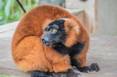 在阿尔迪动物园阿姆斯特丹的奇怪的红色Ruffed狐猴荷兰 免版税库存照片