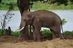 在阿尤特拉利夫雷斯大象阵营泰国的大象 图库摄影