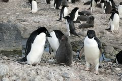 在阿德力企鹅企鹅殖民地内的场面 图库摄影